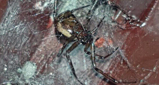 false black widow spider removal Milton Keynes