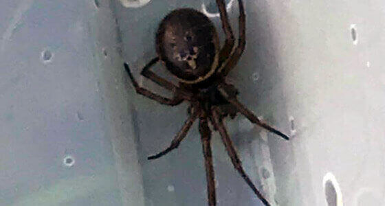 false black widow spider