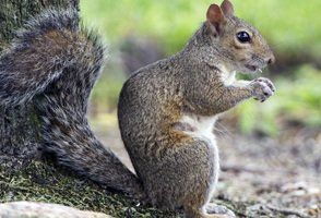 Squirrel Control Wendover