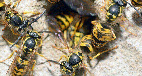 Wasp Control Irthlingborough